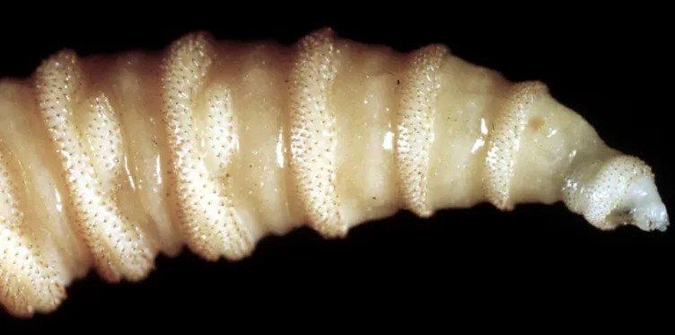 cochliomyia-hominivorax