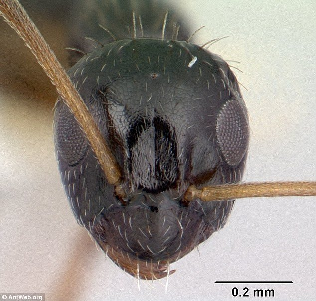 lepisiota-canescen-ant-1
