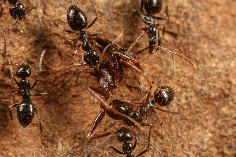 lepisiota-canescen-ant-2