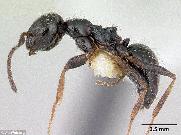 lepisiota-canescen-ant